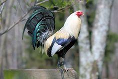 Irish Grey Game fowl