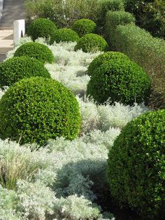 Boxwoods and artemesia