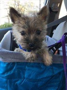 Bertie goes for a ride in his car seat. Cairn Terrier Puppies, Terrier Breeds, Dog Breeds, Baby Puppies, Cute Puppies, Dogs And Puppies, Huge Dogs, I Love Dogs, Norwich Terrier