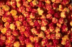 Cloud Berries, Rubus chamaemorus, wild food. Sakhalin. Russia. / Malina moroszka