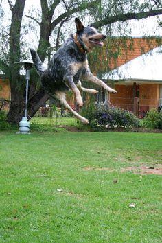 Jumping Dog 3
