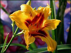Sunrise Lily