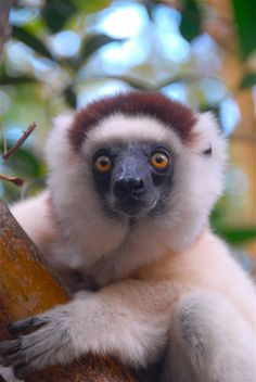 Lemur . Madagascar
