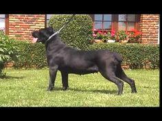 Dogo Argentino   Cane Corso   American Bulldog video frances