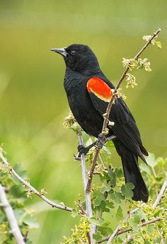 Belinda Greb , Photographer - Red-Winged Blackbird