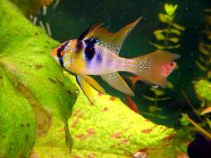 totul despre perusi - www. Fish, Pets, Animals, Weaving, Animales, Animaux, Pisces, Animal, Animais