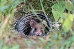 日本ではあまり見かけない野生のハムスター。海外の写真家がハムスターに密着取材し素晴らしい写真を公開してくれた。