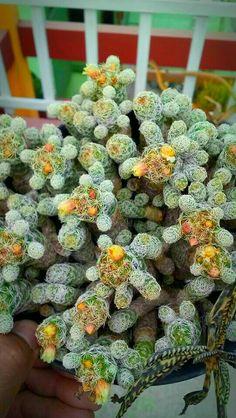 Cacti And Succulents, Cactus, Fruit, Succulents, Plants