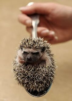 my god its a hedgehog on a spoon!Oh my god its a hedgehog on a spoon! Hedgehog For Sale, Happy Hedgehog, Cute Hedgehog, Farm Animals, Cute Animals, Pygmy Hedgehog, Pocket Pet, Cutest Thing Ever, Cute Creatures