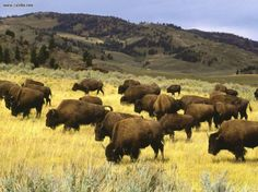 When the West was free of fences Just plenty of grass for the Bison to graze.