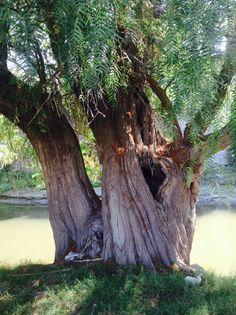 Árboles en ixmiquilpan Hgo
