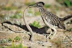Road runner munching on a tasty snake, one of the very unique birds you can see in Tucson! Kinds Of Birds, All Birds, Birds Of Prey, Reptiles, Mammals, Arizona Birds, Arizona Usa, Tucson Arizona, Animals For Kids