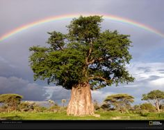Rainbow Over Baobab Tree by Beverly Joubert. Baobab trees can provide relief from the sweltering heat in the Moremi Game Reserve (home to elusive leopards, and lurking hyenas). Mombo region of Okavango Delta, Botswana Le Baobab, Baobab Tree, Rainbow Photography, White Photography, Nature Photography, Photography Wallpapers, World's Most Beautiful, Beautiful World, Beautiful Pictures