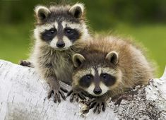 Raccoons in the Great Smoky Mountains - Wildlife - Up The Creek RV ...