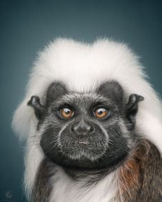 Animal Personality: Cotton-top tamarin Jeronimo by Manuela Kulpa - Photo 120158881 - Funny Animal Memes, Funny Animals, Cute Animals, Magnificent Beasts, Year Of The Monkey, Wild Creatures, Baboon, Tier Fotos, Beautiful Creatures