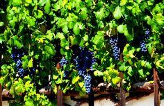 O rebento da videira mais antiga do mundo tem cerca de 400 anos e vem da Eslovénia para ser plantado em Portugal, no Parque Biológico de Gaia, no âmbito da conferência Internacional Wine&Vine. O objetivo do evento, que irá juntar investigadores de várias partes do mundo, é envolver participantes em torno de um debate sobre os desafios que o setor vinícola enfrenta, como a desaceleração da economia global, o desenvolvimento sustentável e ainda o aparecimento de novos países produtores.