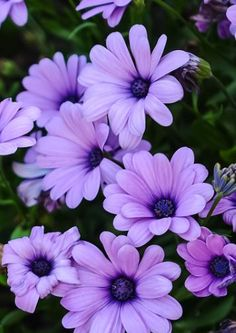 Purple Flower Names, Tiger Lily Flowers, Types Of Purple Flowers, Light Purple Flowers, Purple Daisy, Colorful Flowers, Beautiful Flowers, Daisy Wallpaper, Flower Phone Wallpaper