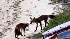 Juvenile Fox Release on Cape Cod by Heather Fone