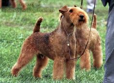 Lakeland terriers Terrier Breeds, Airedale Terrier, Terriers, Unusual Dog Breeds, Lakeland Terrier, Wolves, Rat, Dogs, Animals