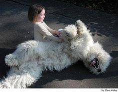 Komondor - Perros - mundoAnimalia.com