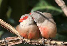 Aves Catarinenses  BICO DE LACRE.Dupla carinhosa.