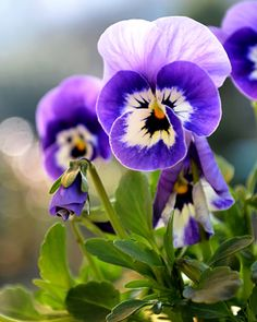 http://files5.padlib.com/soft/af025ef81720519cd795d6d80e8bb9d5/Pansy-Garden-Flowers-tall-l.jpg