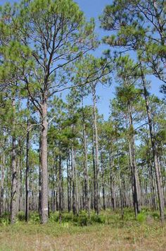 The Apalachicola National Forest holds Longleaf Pines, homes of the endangered Red-Cockaded Woodpecker. Big Bend Scenic Byway - All Photos | America's Byways