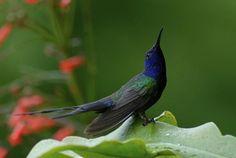 Family Trochilidae (Trochilinae) Species Eupetomena macroura Common name hummingbird scissors English name