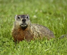 Our new resident in the back 40...lol...What to Do About Woodchucks : The Humane Society of the United States