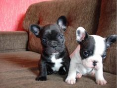 listing Lovely French Bulldog Puppies for adopti... is published on Free Classifieds USA online Ads - http://free-classifieds-usa.com/for-sale/animals/lovely-french-bulldog-puppies-for-adoption-443-261-5864_i29766