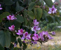 Bauhinia in bloom ,April 2017