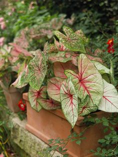 Caladium  An ideal choice for brightening shady corners, Caladium bears colorful leaves splashed in shades of pink, red, and white. And because it's the leaves that are colorful, you don't have to worry about the plant going out of bloom. Caladium grows 2 feet tall and is great in the ground or in containers.                                          How to Grow It: Caladium grows best in full shade and moist, but well-drained soil. Zone 10; in cooler areas, dig and store them in a frost-free place for winter