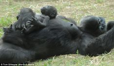 Lie-down: Bomassa looks up at the sky as he lies on his mother Jamani's stomach giving her a well-deserved break