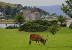 Stag at Lochranza Bay, by the castle, Isle of Arran, Firth of Clyde, Scotland. Glasgow, Edinburgh, Scottish Castles, Scotland Castles, Scottish People, Isle Of Arran, Island Nations, Beautiful Places, Scenery