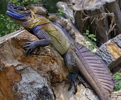 The Philippine Sailfin Lizard (Hydrosaurus pustulatus) is an oviparous lizard found only in the Philippines.