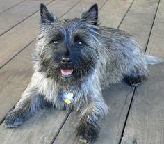 Ah, the cairn terrier. They were used in the past to control rodents. Perros Rat Terrier, Cairn Terrier Puppies, Rat Terrier Dogs, Terrier Dog Breeds, Terrier Mix, Cairns, Unusual Dog Breeds, Puppy Images, Cute Dog Photos