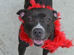 TO BE DESTROYED - SUNDAY - 6/1/14, Brooklyn Center -P  DIAMOND  A0999886  Female black/white pit mix 3 YEARS old.I came in the shelter as a OWNER SUR on 05/15/2014  LLORDPRIVA. Diamonds previous owner states she is house trained, has lived with dogs and three adults and gets along well with children, strangers and other dogs. AWESOME BEHAVIOR EXAM!!! Volunteer says: She is friendly and playful, but not overwhelming or hyper. She loves people and other dogs!