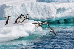 Adelie penguins hauled out on floating icebergs near Paulet Island, Antarctic Peninsula.