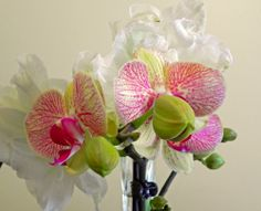 This unnamed Phalaenopsis orchid is blooming along with Amaryllis 'Pavlova'