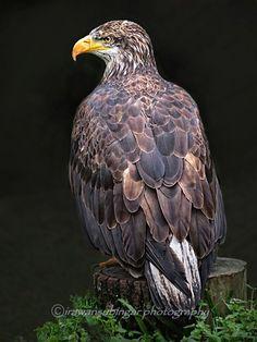 ˚White Tailed Sea Eagle