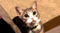 Cat Videos To Make Your Day! Cute and Funny Catshi hoomans! im rufus p goodboy and dis my yootoob channel! i has lottsa videos of doggos, good bois, cats, sleepys bois, fat bois, furry tings, floofi... #animals #animalsfunny #animalsquotesfunny #cat #catsanddogs #cutefunnyanimals #dogcat #DOGS #dogsfunny #funny #funnyanimals #funnyanimalsmemes #funnyanimalsquotes #funnyanimalsvideo... Funny Cats Youtube, Cat Gif, Make It Yourself, Videos, Cute, Animals, Animaux, Kawaii, Animal