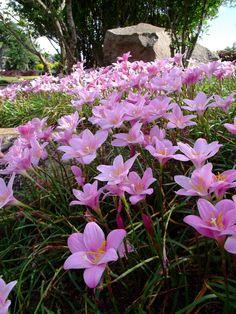 Bloggang.com : ฟ้าใสวันใหม่ : บัวดิน (Rain Lily)