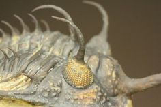 ブラヒム・タヒリLab作!ワリセロプス トライフルカタス(Walliserops Trifurcatus)/古生代デボン紀(4億1000万 -- 3億6700万年前)/9cm(本体最長部カーブ計測) / 母岩8cm