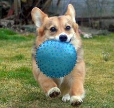 Got It! Io the cute Pembroke Welsh Corgi - from IotheCorgi.com Corgi Facts, Pembroke Welsh Corgi, Corgis, Addiction, Cute, Animals, Animaux, Animales, Animal
