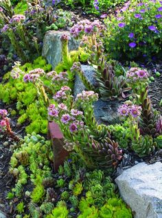 Every beautiful cottage garden has common principles that make them a success. Learn about the fundamentals you need to create your very own cottage garden. Dwarf Plants, Rock Garden Plants, Succulents Garden, Rockery Garden, Flower Gardening, Garden Gate, Organic Gardening, Container Gardening, Landscaping With Rocks