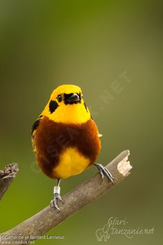 Golden Tanager - Tangara arthus (the color - can someone explain please)