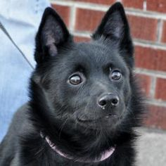 Petango.com – Meet DEAUX, a 3 years 2 months Schipperke / Mix available for adoption in CATLIN, IL