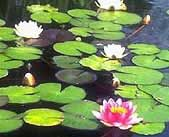 Plant Adaptations in various habitats these lilly pads and flowers are able to live on top of water