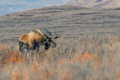 FREE SHIPPING: Print of Moose by NaturePrintShop on Etsy #giftidea #print #gift #nature #natureprint #animals #etsy #shop #Christmas #timplowdenphotography #promotion #etsyshop #freeshipping #sale #alaska