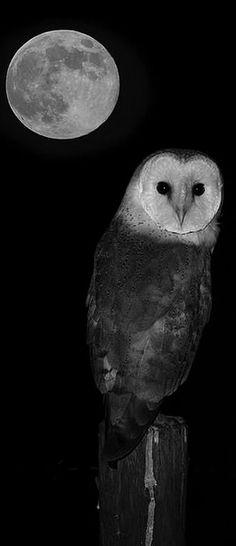 I have had a owl fly on my roof this past full moon strange how life can mirror it's self Beautiful Owl, Animals Beautiful, Owl Bird, Pet Birds, Baby Barn Owl, Barn Owls, Rapace Diurne, Owl Symbolism, Vida Animal